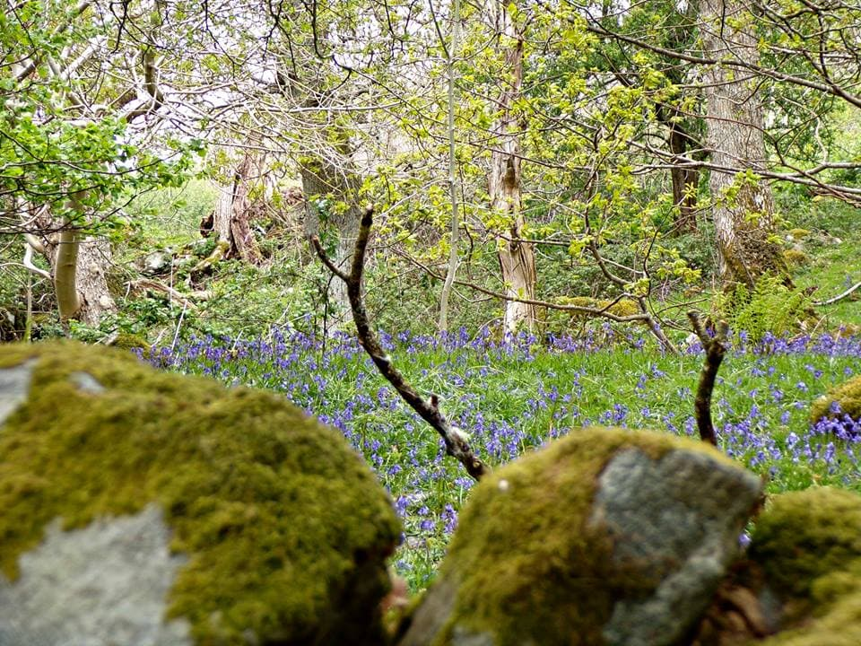 Aber Falls, in North Wales Bluebells