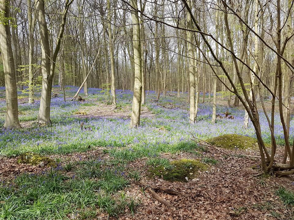 St Andrews Woods, Shoreham, Kent. Woodland Trust Bluebells