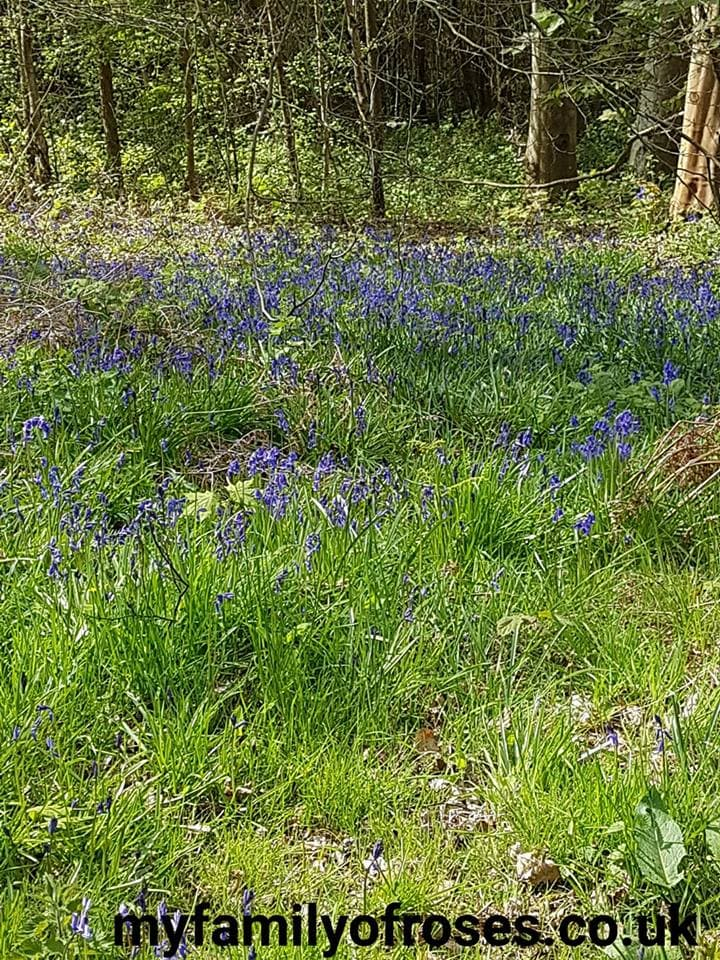Brede High Woods Woodland Trust Bluebells