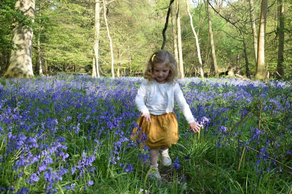 Ashridge Estate, Hertfordshire. National Trust Bluebells