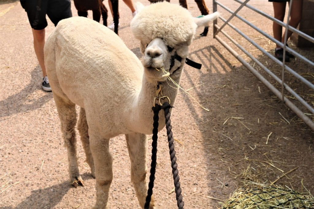 Thumbnail for Charnwood Forest Alpacas