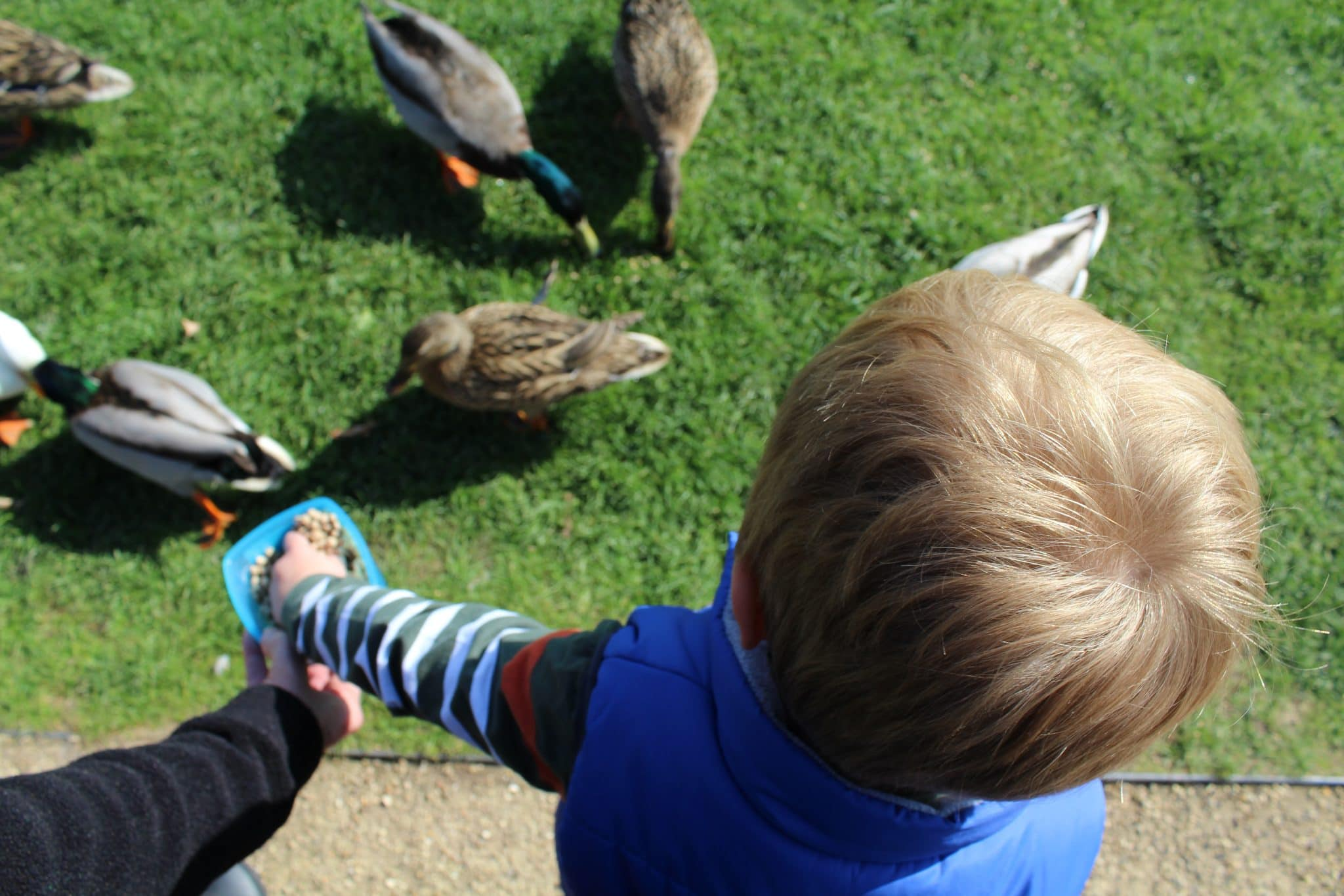 Feeding the ducks at the Festival Gardens