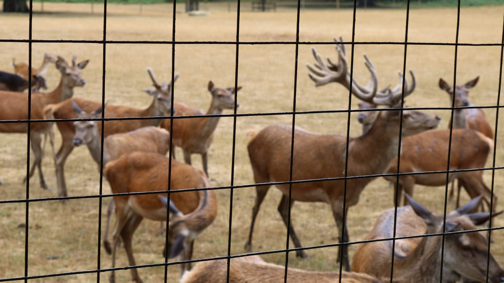 Some of the deer herd including the fabulous stag