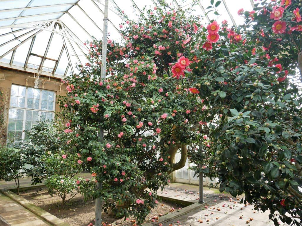 Inside the Camellia house