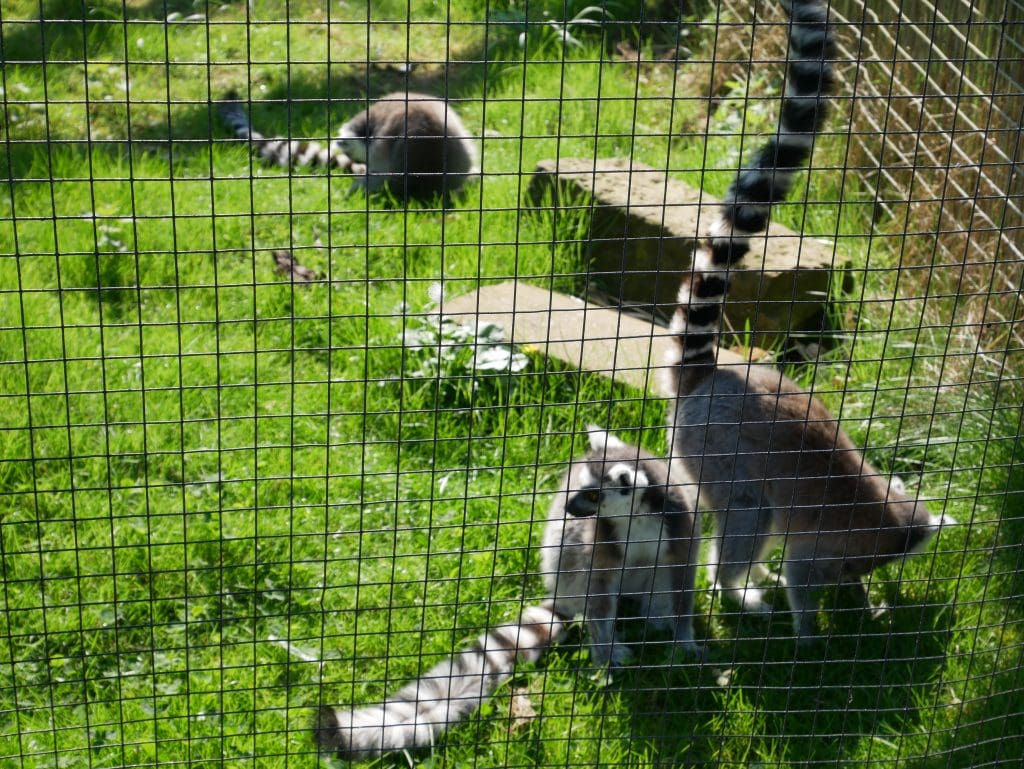 Lemurs - always a favourite of mine