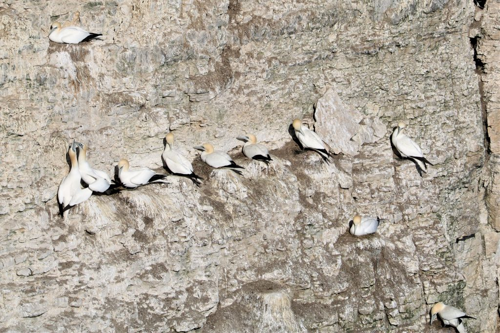 Visiting RSBP Bempton Cliffs Yorkshire | What birds can you see there