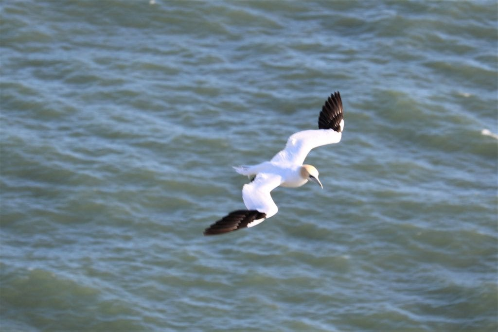 A Gannet flying around - they are massive