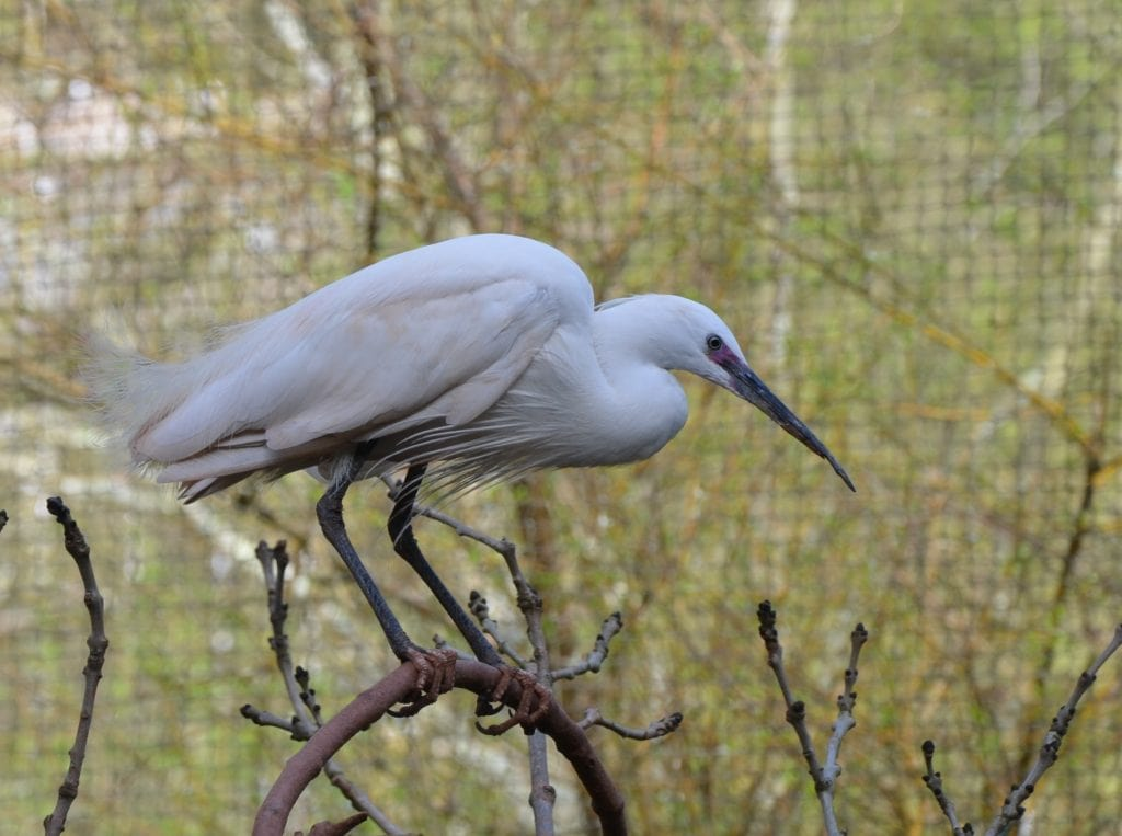 Egret in the Brookside Aviary