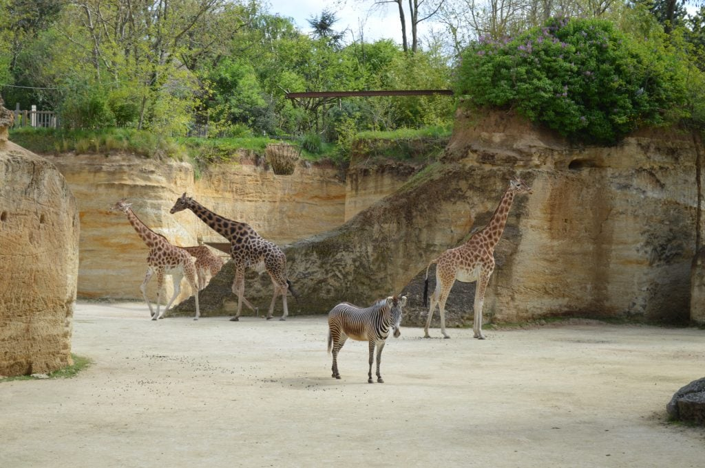 Giraffes at Doue Zoo France