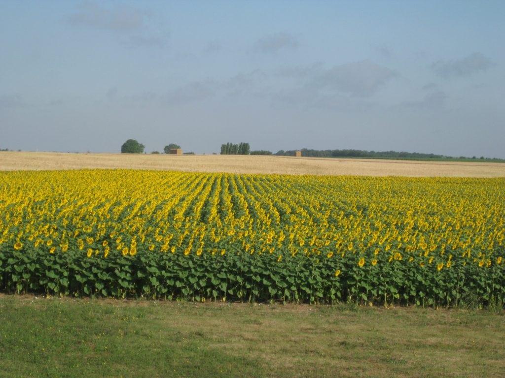 Sunflower field in France