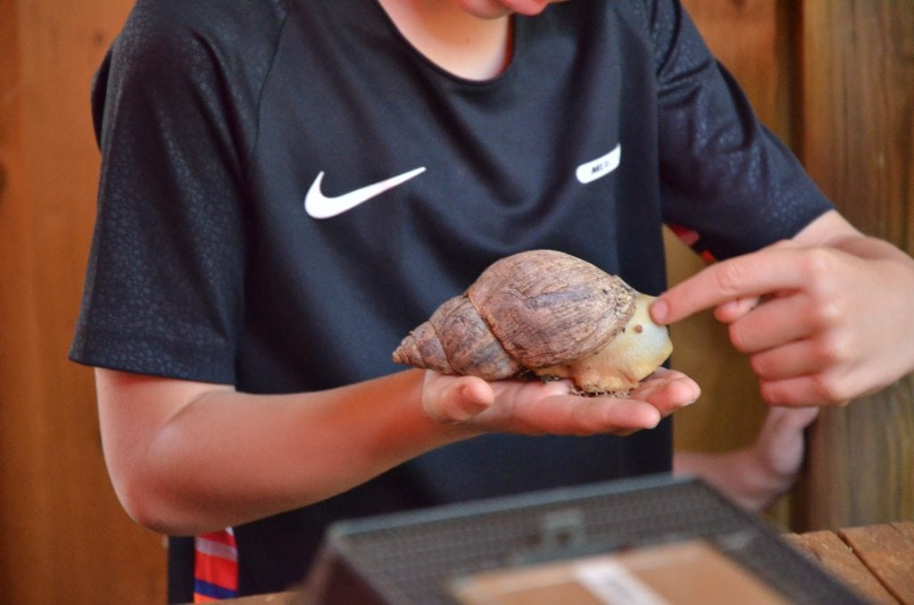Giant African Land snail handling