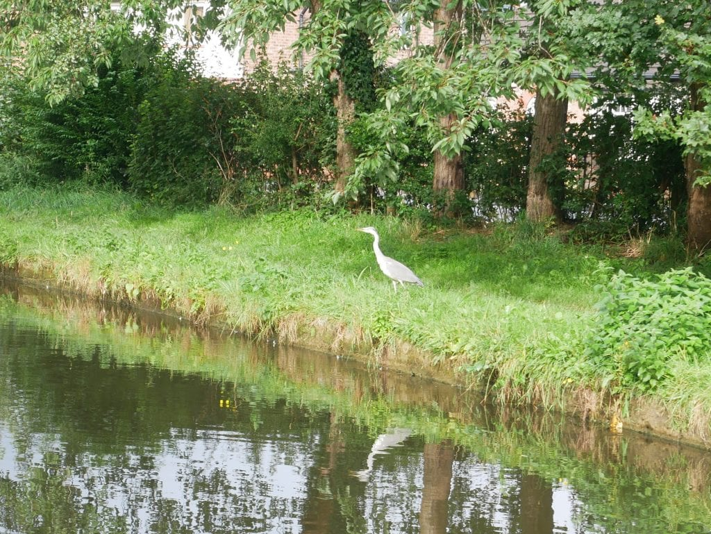 Heron on canal