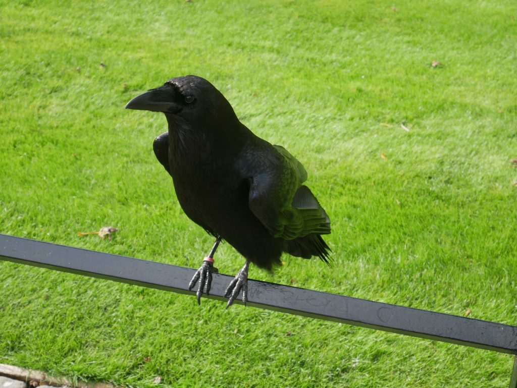 One of the ravens
