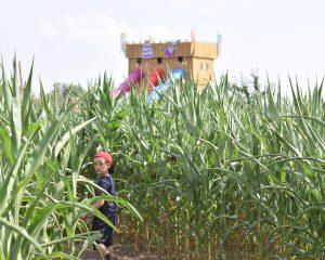Skylark Maize Maze