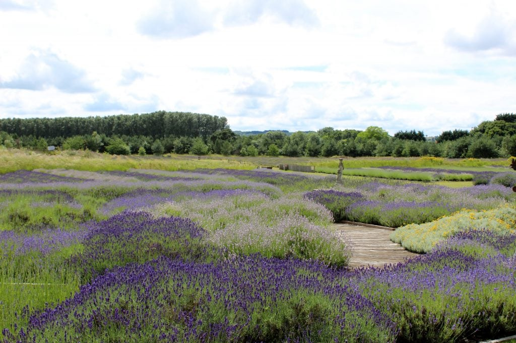 Featured image for Wolds Way Lavender
