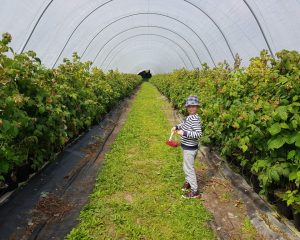12 Places to Pick Your Own Strawberries in Yorkshire PYO Fruit