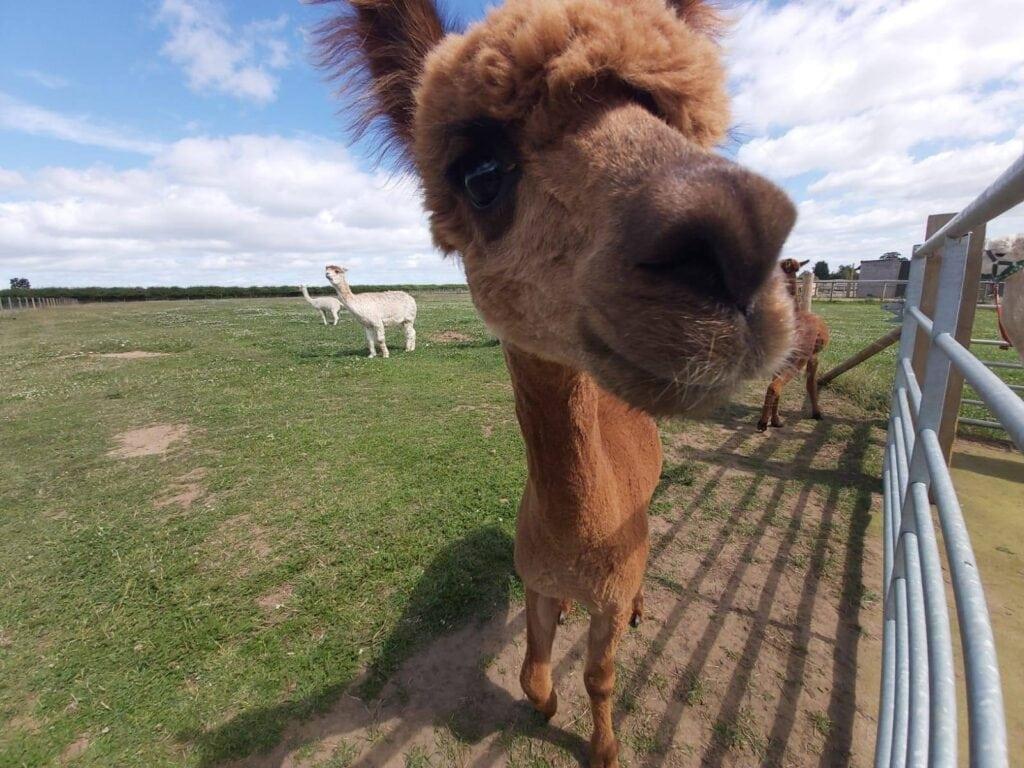 Thumbnail for Abbotts View Alpacas