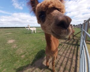Abbotts View Alpacas