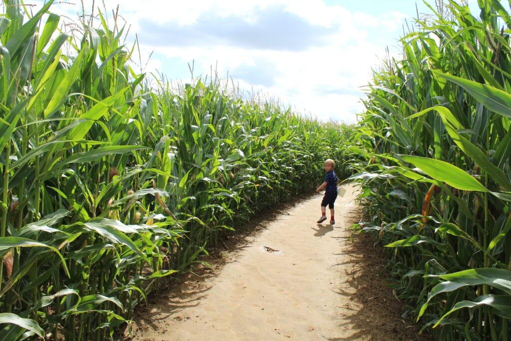 Thornton Abbey Maize Maze