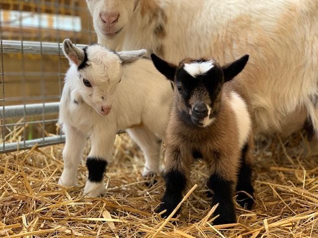 Thumbnail for Mini Meadows Farm