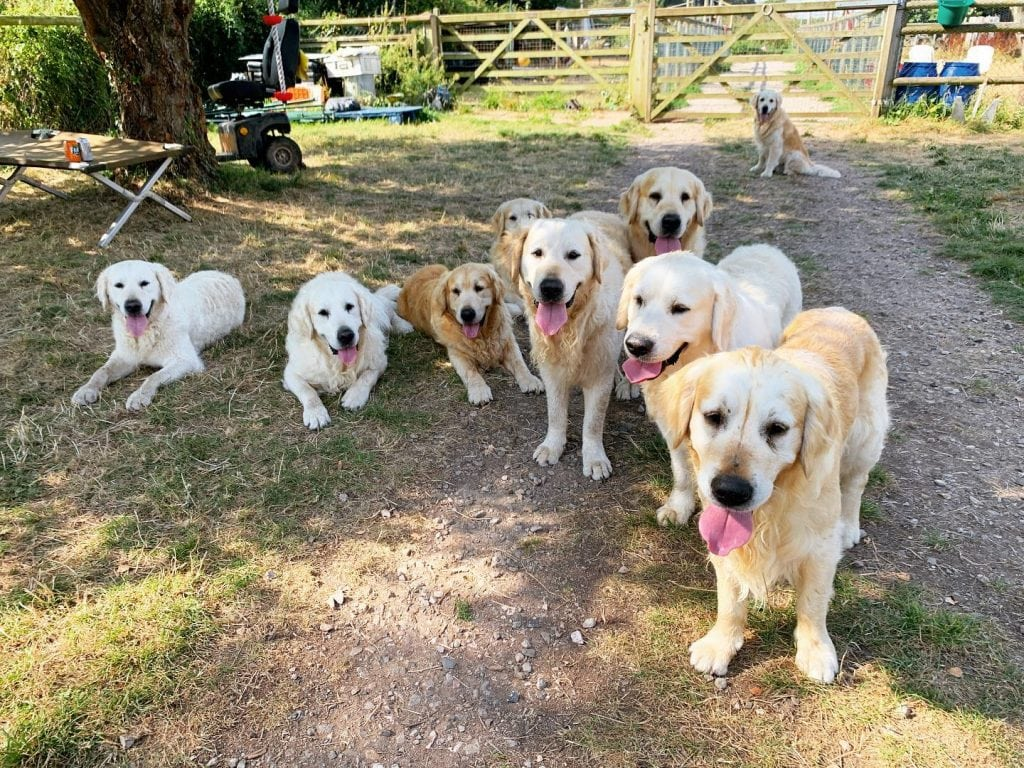Featured image for Golden Retriever Experience